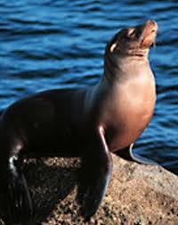 Anjing laut. dan saya baru tahu, ternyata anjing laut memiliki